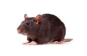 rat pest control essex